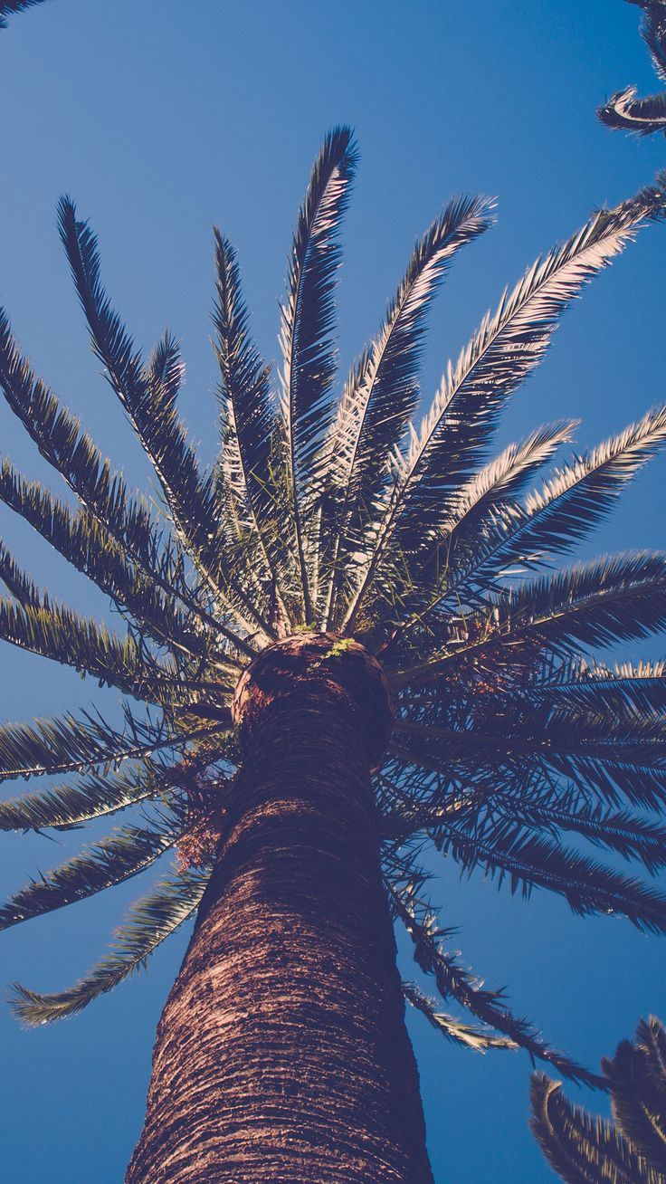 Palm tree nature wallpaper #Iphone #android #palm #tree #wallpaper check out more on wallzapp.com