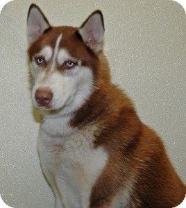 Port Washington, NY - Siberian Husky. Meet Knuckles a Dog for Adoption.