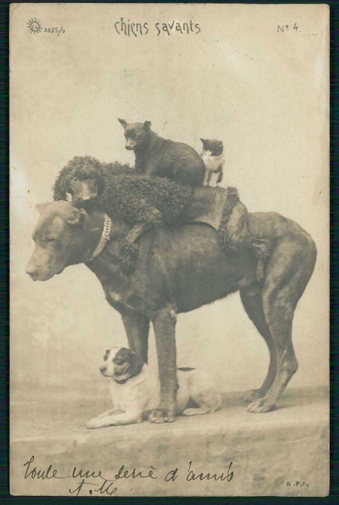 Crazy Circus Great Dane, poodle, pinscher, Jack Russell dog, cat. 1900s real photo postcard.