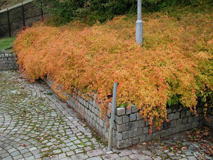 Stephanandra incisa 'Crispa' - Prydnadsbuskar - Växter