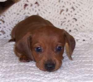 Little Dachshund Puppy. I need one!