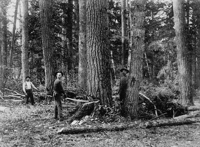 File:Felling tree using crosscut saw Ontario ca 1870-1930.jpg