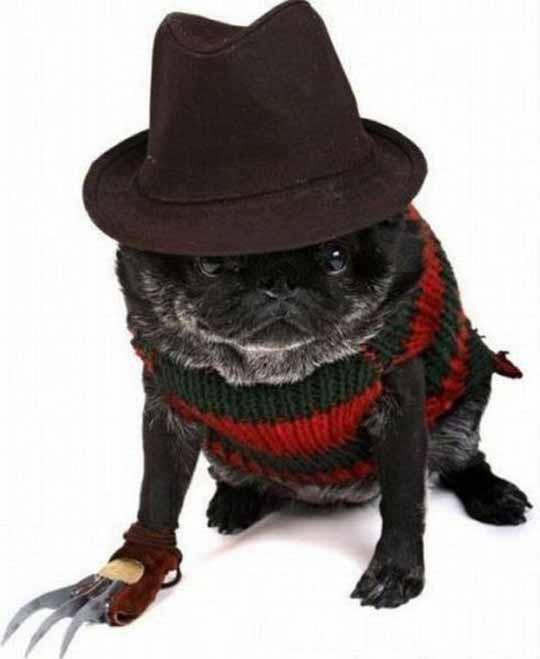 Halloween costume for pugs