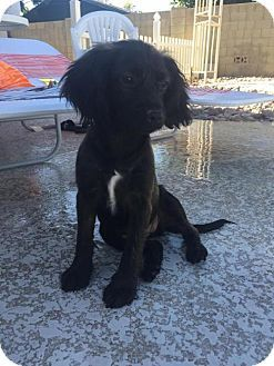 Pictures of SABLE a Cocker Spaniel Mix for adoption in Phoenix, AZ who needs a loving home.