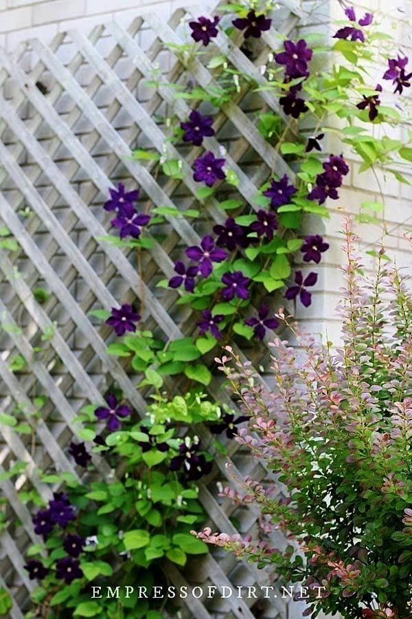 To Choose Clematis Trellis For Healthy Flowering Vines With Good Support Tips F To Choose Clematis In 2020 Clematis Plants Climbing Plants Trellis Trellis Plants