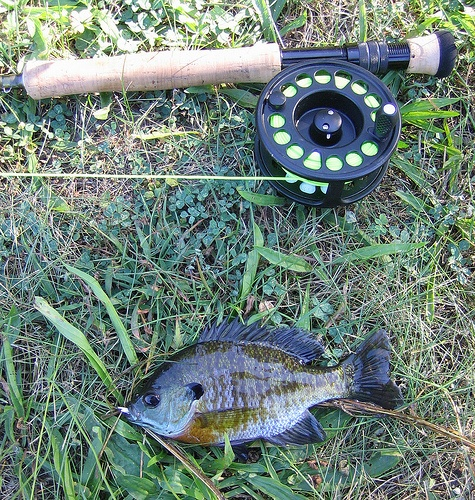 109 best images about sunfish on pinterest fishing bait for Fly fishing for bluegill