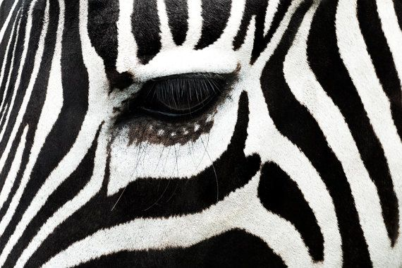 Zebra eye wall art art print impresión digital por Chachaprints