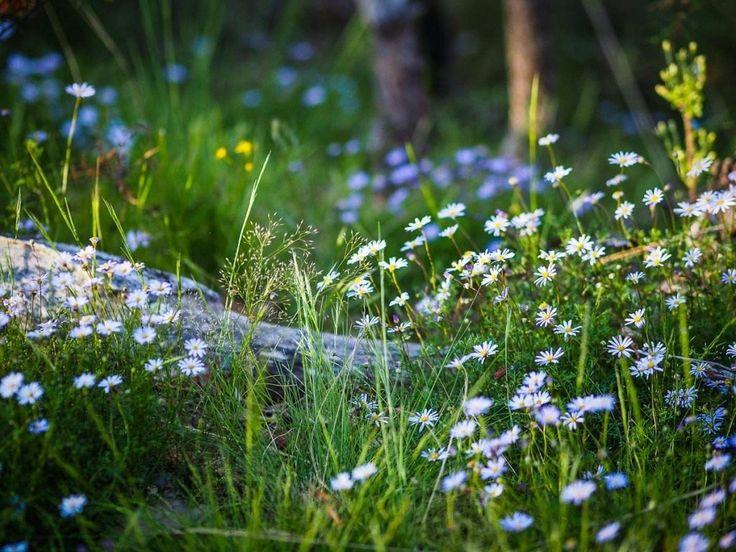 Растения, которые можно принести в сад с прогулки. Какие дикие цветы посадить на участке? Фото - Ботаничка.ru