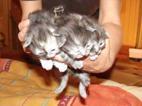 chatons sibériens classiques et Neva Masquerade