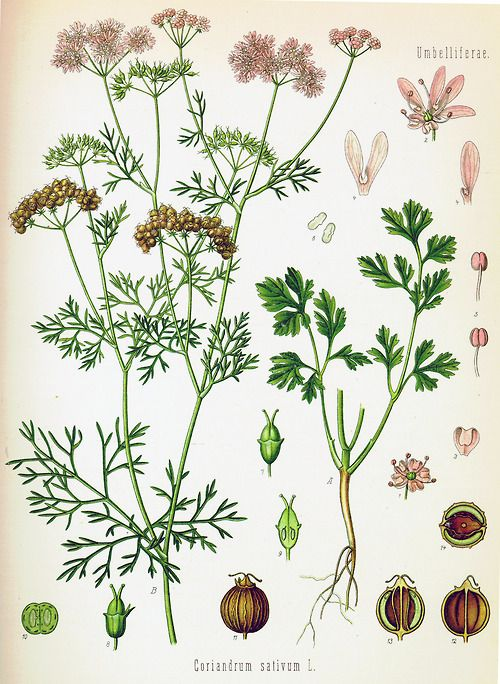 Coriandrum sativum / Coriander