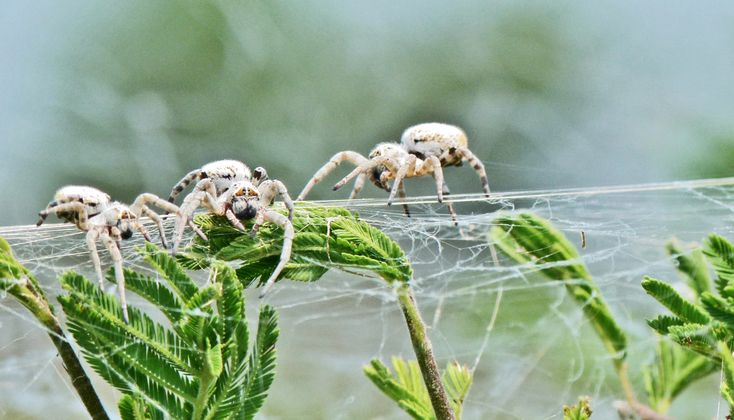 The Great Man Theory says very influential individuals use their power to maximize their impact in shaping the course of history. Spiders suggest otherwise.