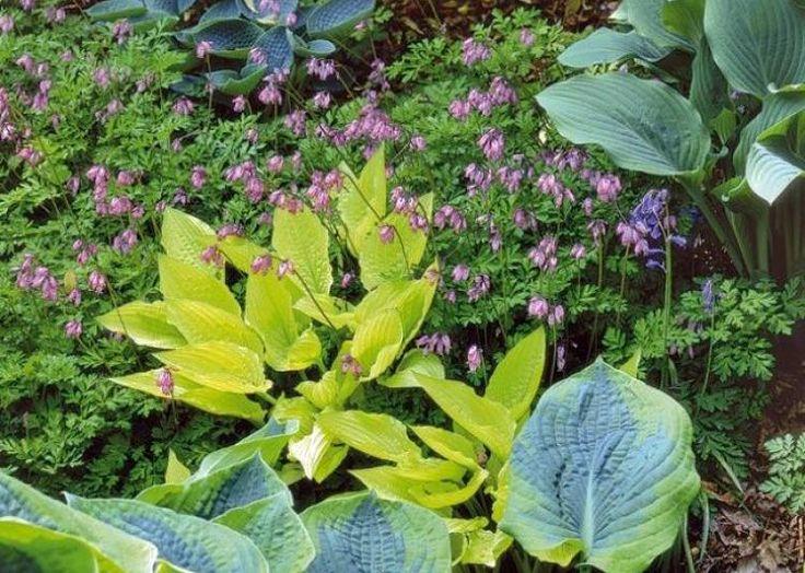 les 25 meilleures id es de la cat gorie vivaces d 39 ombre sur pinterest plantes d 39 ombre plantes. Black Bedroom Furniture Sets. Home Design Ideas