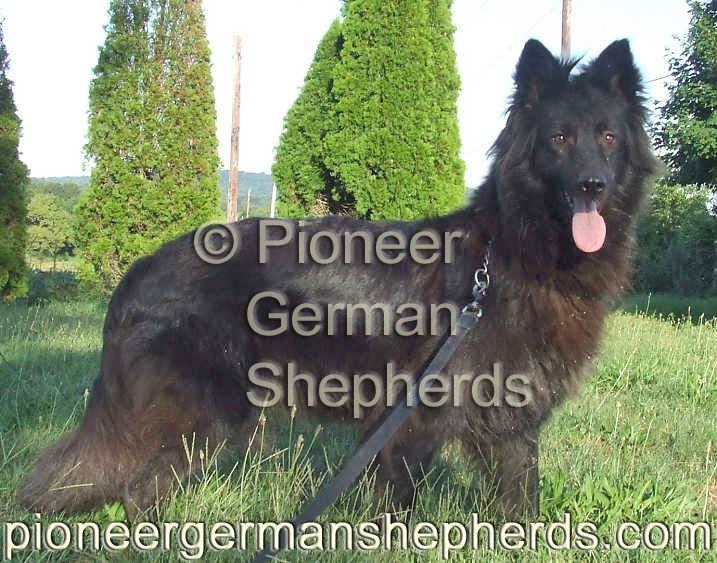 long haired black german shepherd puppies for sale 77 best images about large german shepherds large gsds 3866