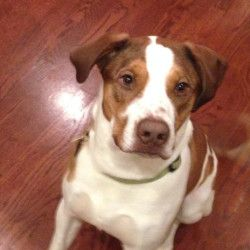 Treeing walker coonhound short coats and humane society on pinterest