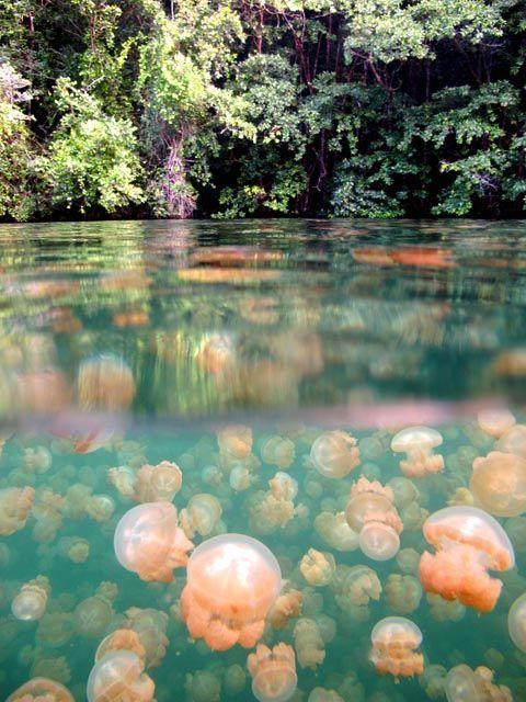 Swim with non-stinging jellyfish in Jellyfish Lake, Kakaban Island, Indonesia.