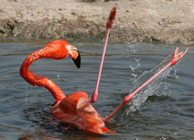 FLAMINGO FACTS |The Garden of Eaden