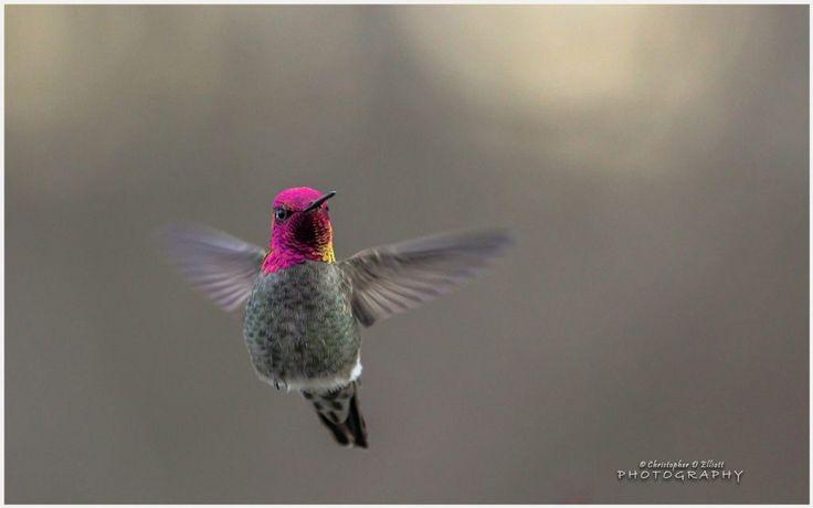 Flying Hummingbird Wallpaper | flying hummingbird wallpaper 1080p, flying hummingbird wallpaper desktop, flying hummingbird wallpaper hd, flying hummingbird wallpaper iphone