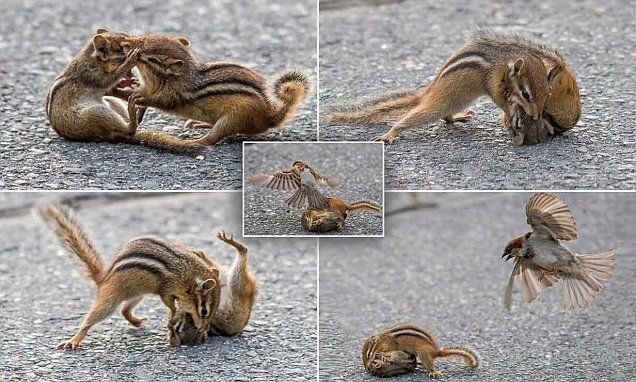 Fighting chipmunks are separated by SPARROWS protecting their nest #DailyMail