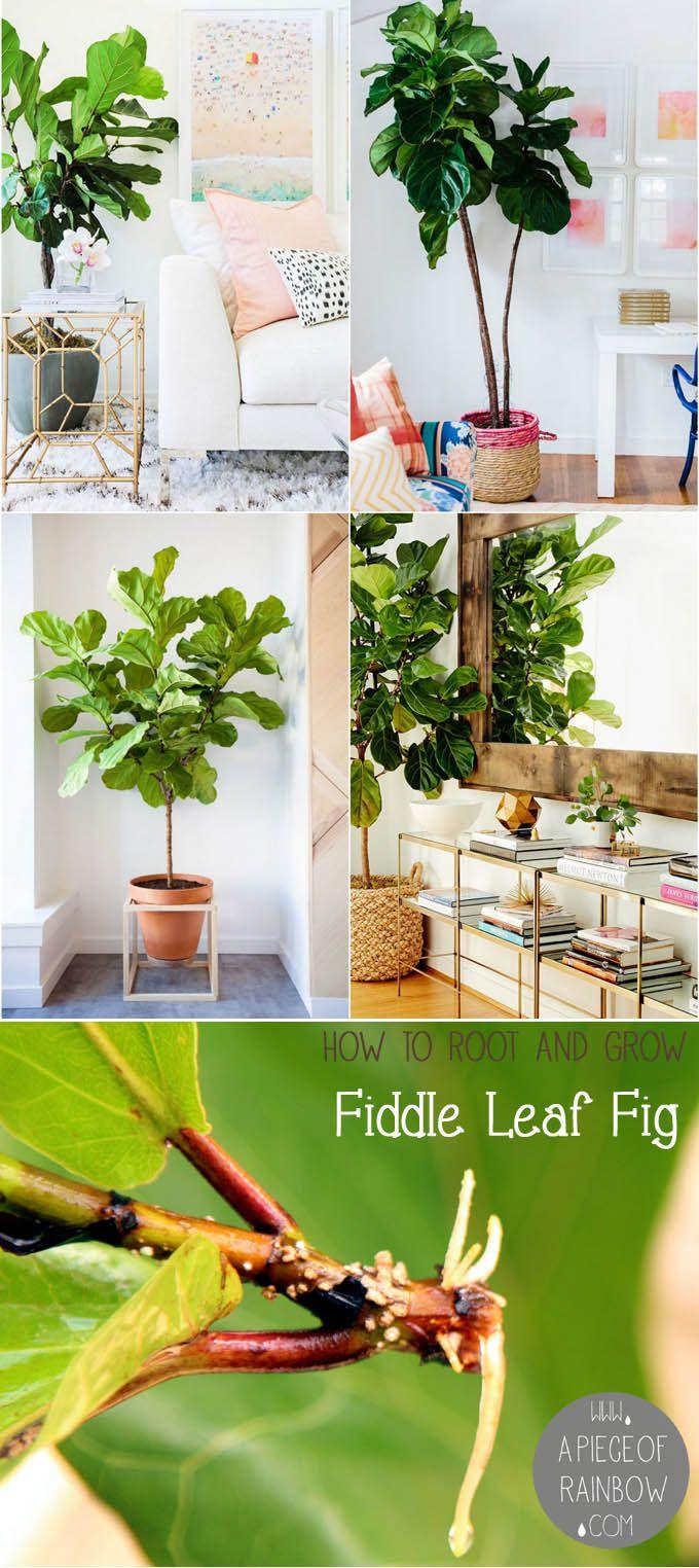 15 best fiddle leaf fig images on Pinterest   Fiddle leaf fig tree ...