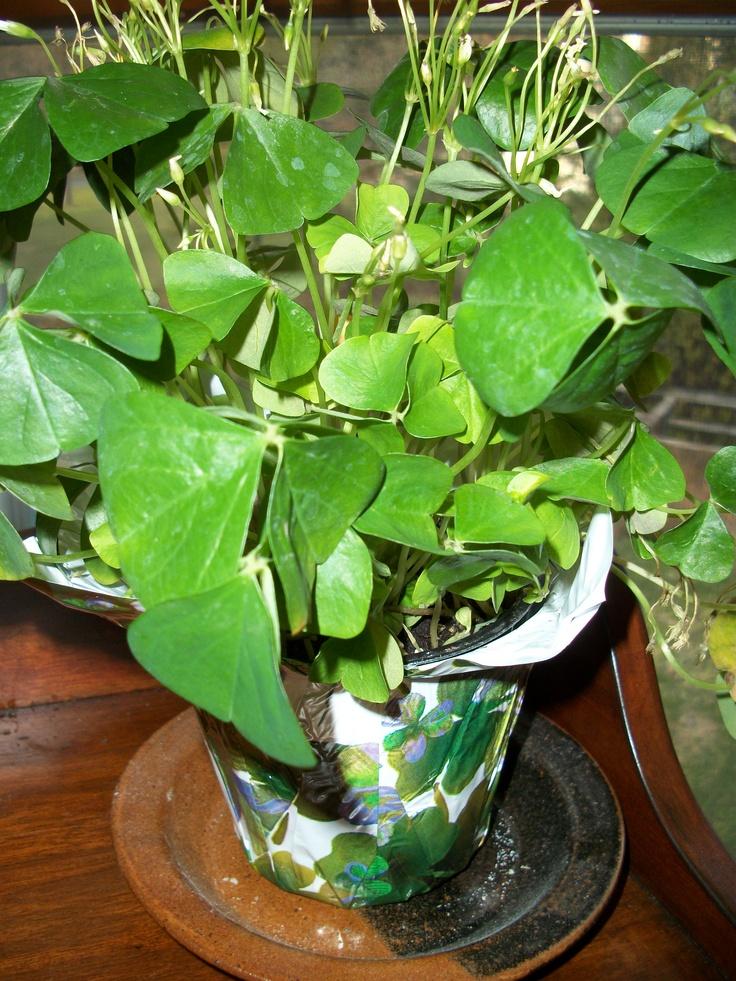 Shamrock plant google search house plants pinterest indoor gardening indoor and gardening - Shamrock indoor plant ...
