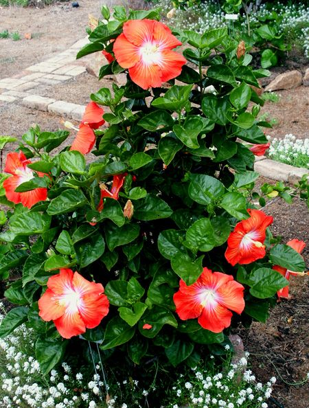 Hibiscus 'Saffron' Good website info on caring for your Hibiscus plants.
