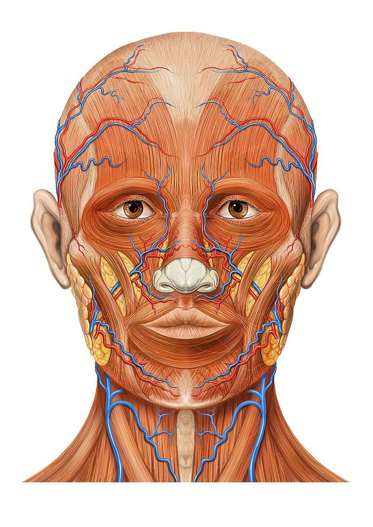 10 best face anatomy images on Pinterest | Face, Faces and Med school