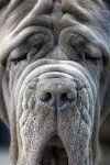 Goliath the Neo Mastiff by SaNNaS