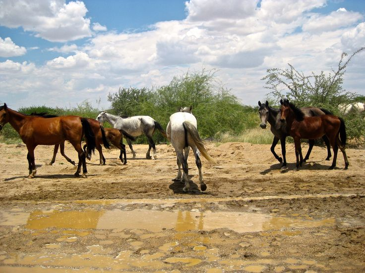 Desert #Horses, somewhere in #Namibia (drive to  Twyfelfontein) #Photography