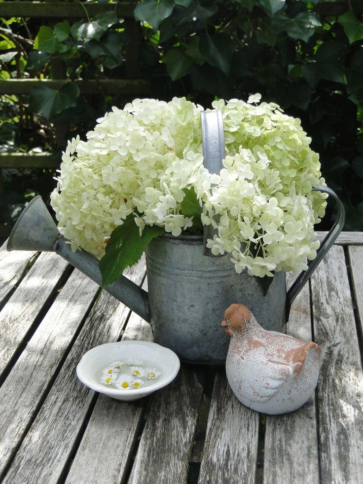 hortensia in gieter