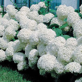 Hydrangea Annabelle: From early summer till fall, it produces enormous 12-inch plant that never gets out of bounds. 'Annabelle'is shade-tolerant but also enjoys heat and humidity. Very easy to grow once established, it is a lovely source of fresh and dried arrangements as well as a useful border, hedge, foundation, or accent planting. Zones 4-9. One-gallon container - $12.95