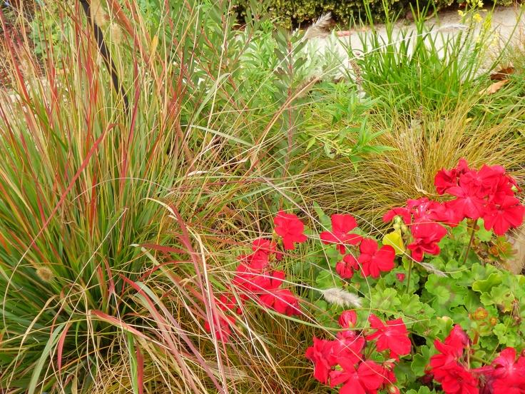Geraniums and Grasses