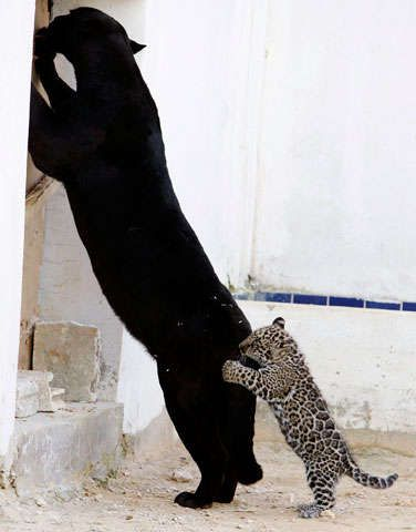 Pics taken last week at the Jordan Zoo show jaguar mom Lolo enjoying a good wrestle (and occasional nibble) from her newborn cub. Unlike her spotted cub, Lolo is melanistic, which means she possesses and exhibits more dark pigmentation than a typical jaguar.