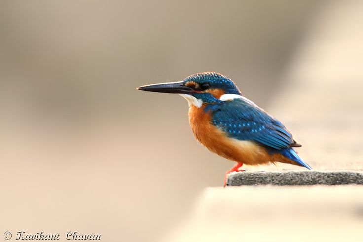 Small Blue Kingfisher. Photographed this image at outskirt of Kanha National Park  More Images at - http://www.ephotobuy.com/