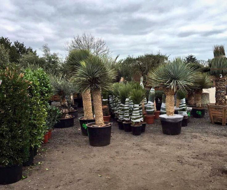 We welcomed a huge delivery of plants yesterday including flowering shrubs, olives, palms, cacti, agaves and yuccas. The nursery is starting to look nice and full!