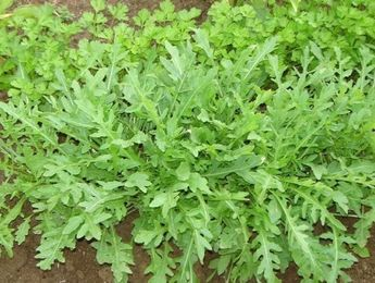 РУКОЛА: особенности выращивания, которые нужно знать!