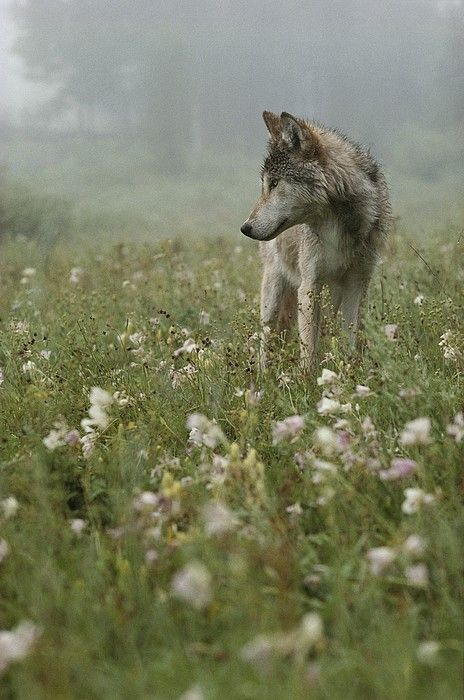 A Gray Wolf, Canis Lupus, Standing Print by Jim And Jamie Dutcher*