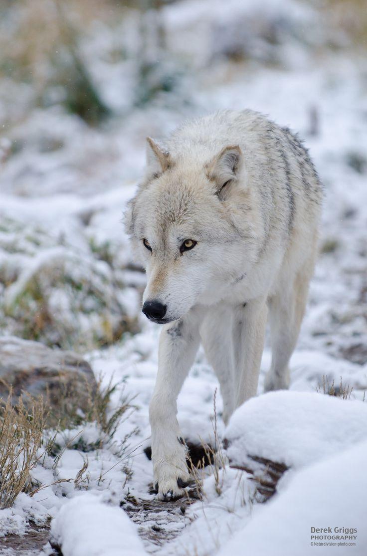 Grey Wolf #nature | follow @sophieeleana