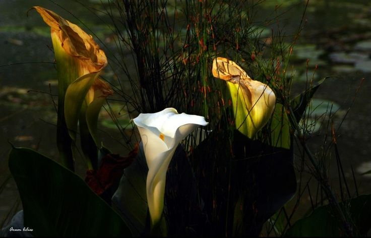 Arum lilies #Photography http://www.n3gateway.com/news5/14/151/Stephen-Pryke/d,detail.htm