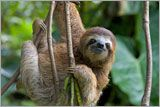 For $50 you can symbolically adopt a Three-toed Sloth through World Wildlife Fund.