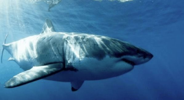 """Enormous Fossilised """"Supershark"""" Unearthed In Texas"""