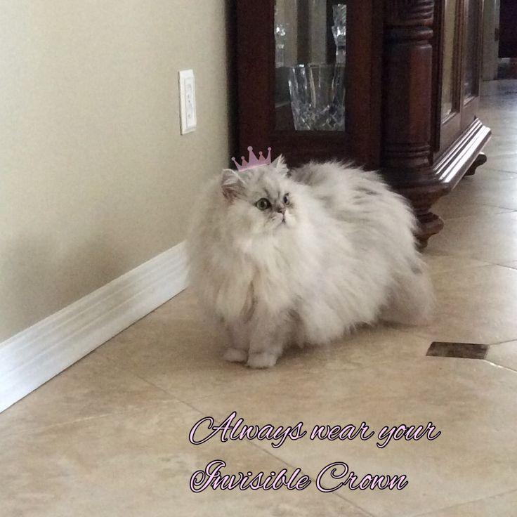 beste ideeën over Persan blanc op Pinterest Chaton persan