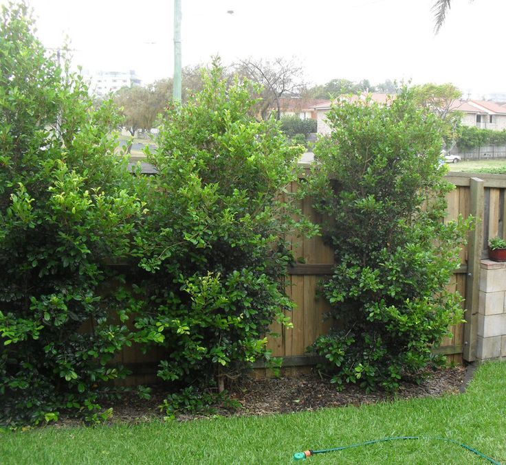 full privacy timber fencing with screening plants john 39 s handyman odd job services handyman. Black Bedroom Furniture Sets. Home Design Ideas