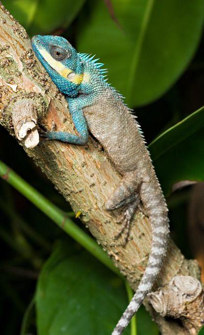 Crested Tree Lizard