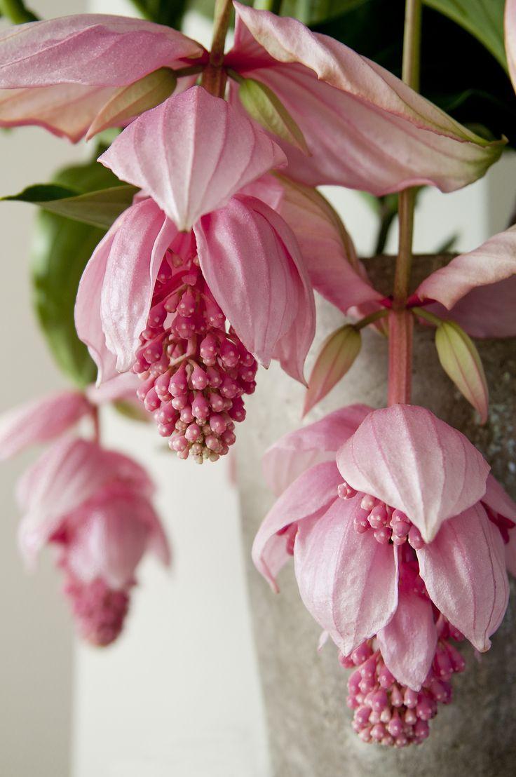 Medinilla - Rosenskärm. Blommar ca 6-12 veckor. Placeras ljust men inte i direkt sol. Vattnas sparsamt. Idealtemperatur 18-22'C
