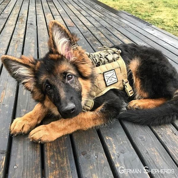 German Shepherd Strong And Loyal Military Dogs Shepherd