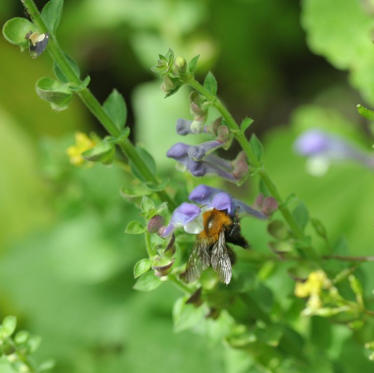 Blauw glidkruid (Scutellaria galericulata). EN: Common Skullcap. DE: Sumpf-Helmkraut