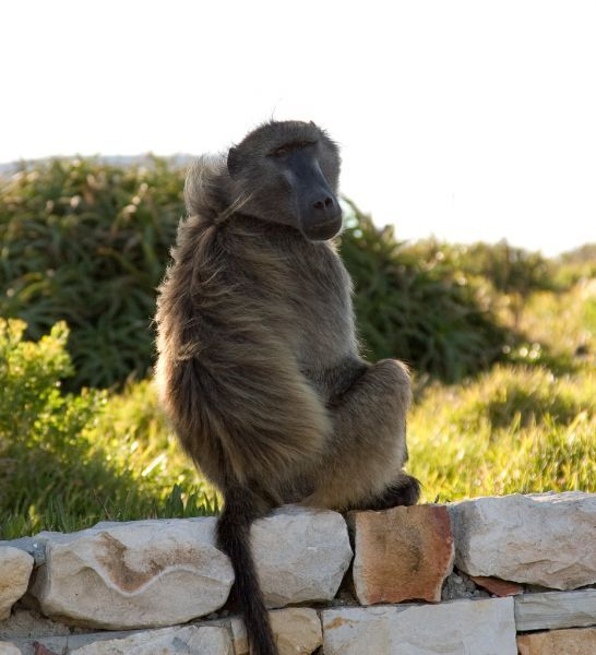 Baboons at Cape Point – Cape Town Tourism