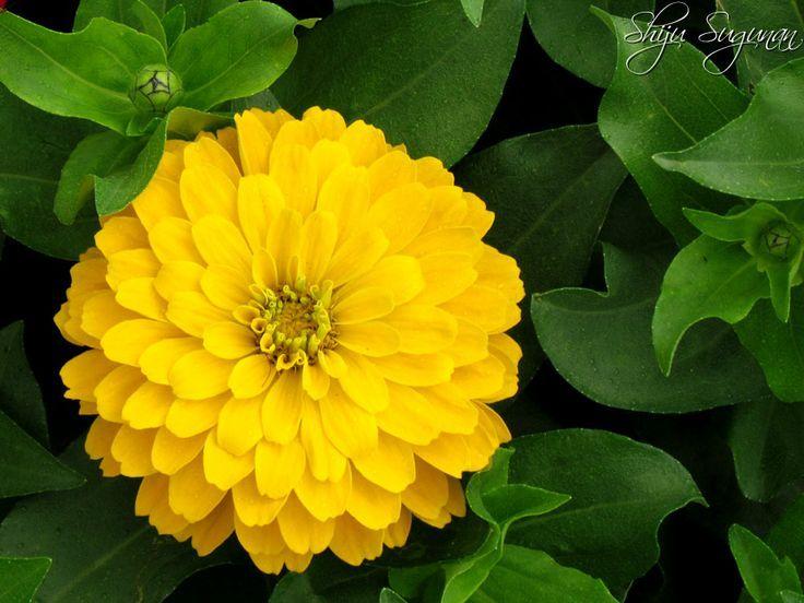 yellow zinnias wedding - Google Search