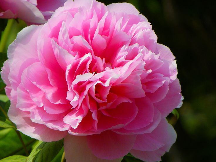 Lovely pink peony