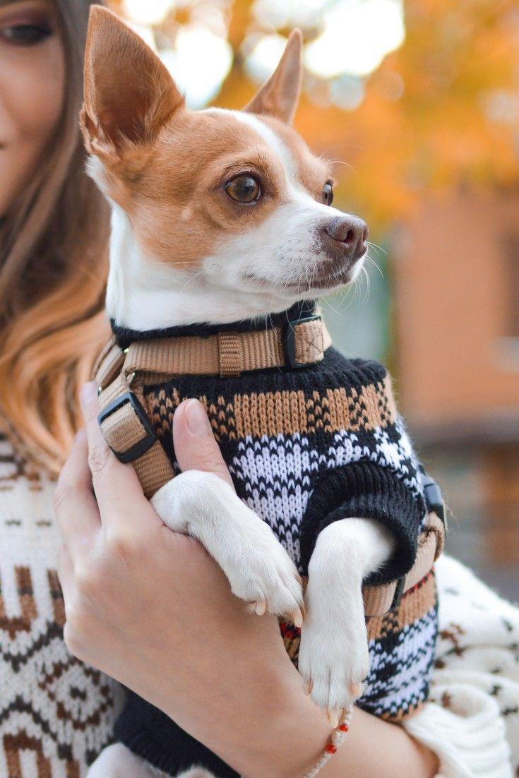 Pin On Chihuahuas